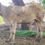 Lembu Qurban