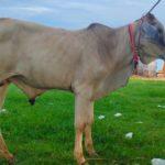 Lembu Qurban3